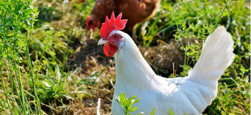 Keeping Chickens: Cluck At All These Benefits